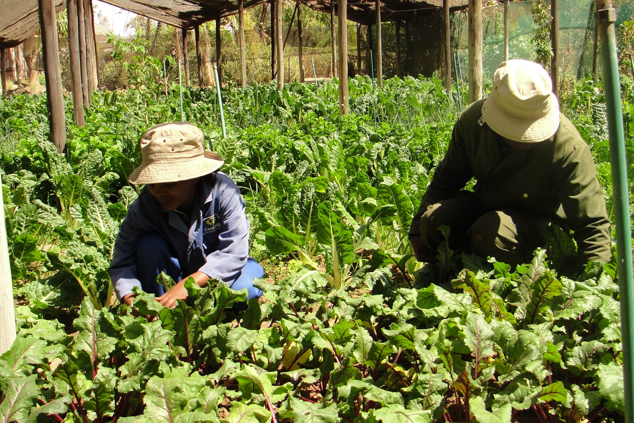People under shade cloth for green and purple vegetables with hats on working during the day.