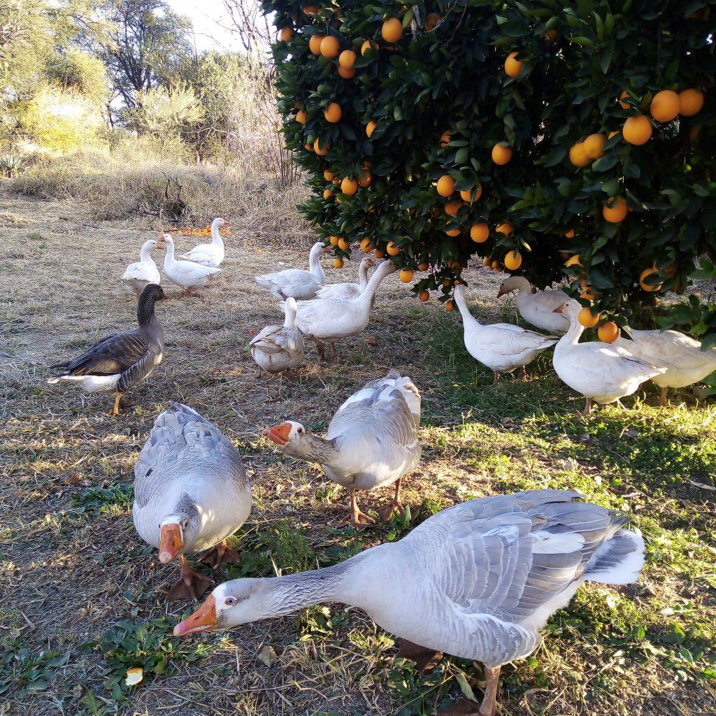 Ducks feeding under the orange tree.