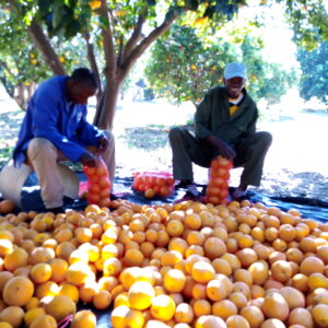 Packing Oranges in Orchard#1