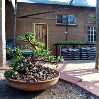Bags of soil and seedlings for sale near a mini jade bonsai tree in a wide shallow pot.