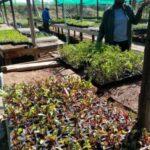 Nursery Seedlings