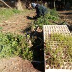 Transplanting Seedlings from the Nursery